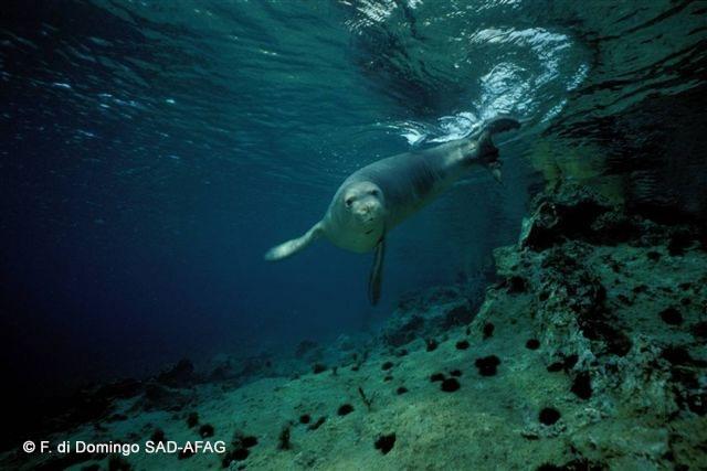 Akdeniz foku besinini dalarak sualtında avladığı balık ve yumuşakçalarla sağlar. © F. di Domingo